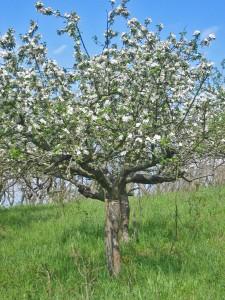 Ein alter Apfelbaum