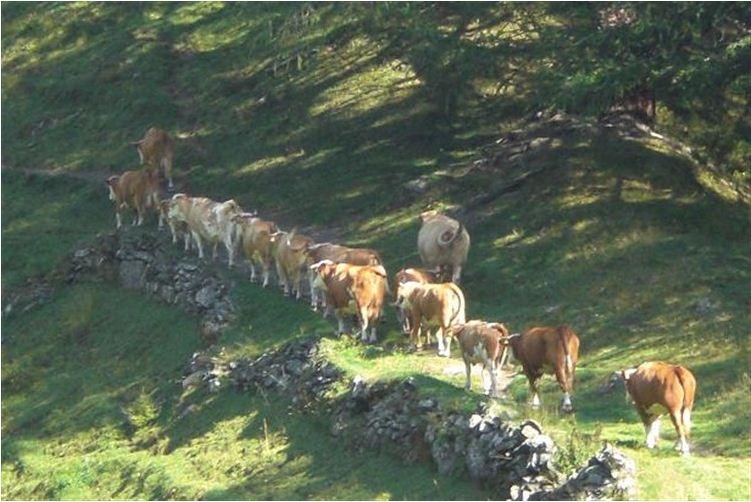 Bedrohte Art: Hinterwälder-Rinder