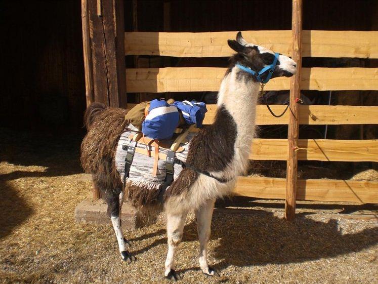 Fertig zum Wandern: Lama mit Marschgepäck