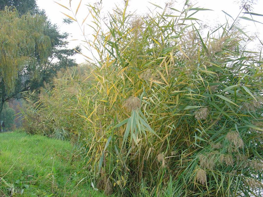 Schilfpflanze in Pirto (Ungarn)  Foto: Willhardt